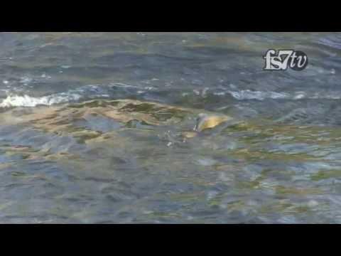 Giant Canadian Salmon.  Ganaraska River Salmon Run.