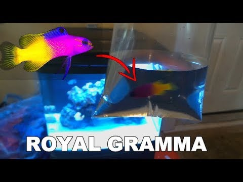 NEW ROYAL GRAMMA FOR SALTWATER TANK
