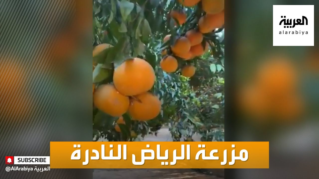 صباح العربية | قصة نجاح إحدى المزارع في الرياض بالتين والبرتقال والبابايا  - نشر قبل 5 ساعة