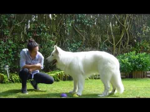 EDUCATION - Tous les tours de Jaïko - chien Berger Blanc Suisse