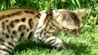 BENGAL KITTEN DOES NOT LIKE GRASS UNDER HER FEET