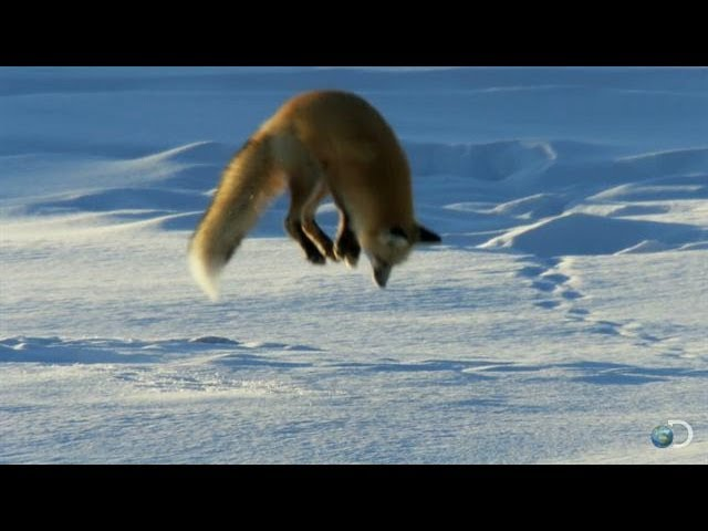Arctic Fox Diving into the Snow