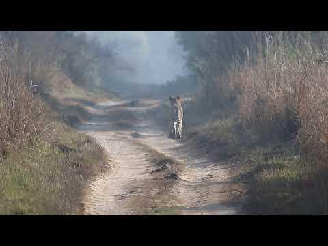 Tiger walking at Jim Corbett National Park | Wildlife Sanctuary