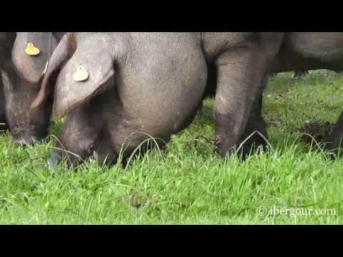Cerdos ibéricos comiendo bellotas en una dehesa de Extremadura