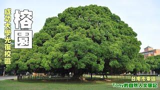成功大學光復校區榕園。這片草地總共有12棵老榕樹。其中枝葉綠葉最繁茂...