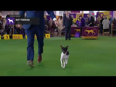 Rat Terriers | Breed Judging 2019