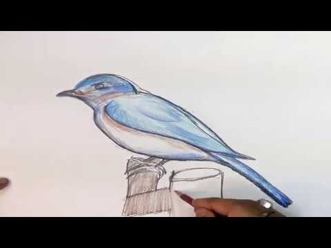 how to draw blue bird step by step