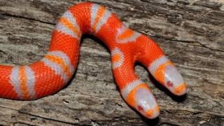 Two Headed Snake : SnakeBytesTV thumbnail