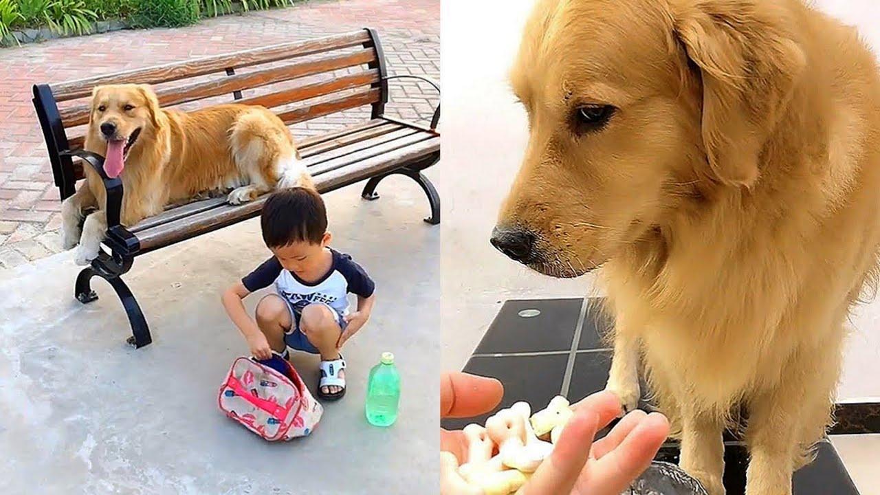 Golden retriever locks himself up🤣Funny dogs do environmental protection propaganda😚