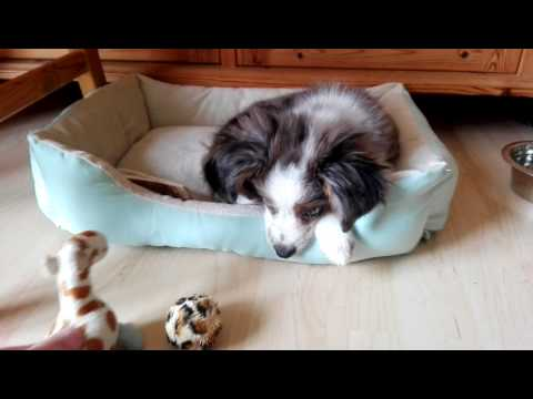 12 Week old Miniature Australian Shepherd puppy