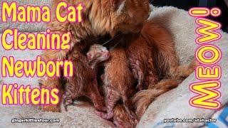 Rare Ginger Cat with Five Newborn Kittens