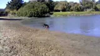 Poodle And Cattle Dog Swim To Get Their Ball