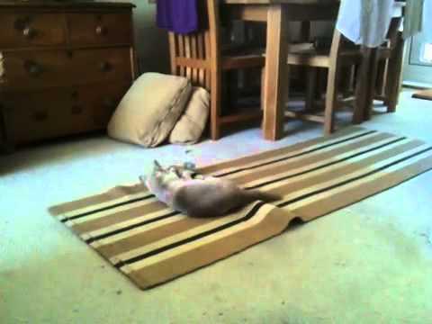 funny Burmese cat