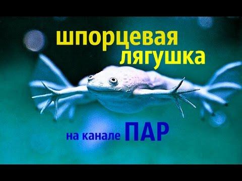 Шпорцевая лягушка Xenopus