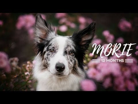 Morie | border collie | 12 months