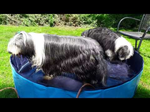 Bearded Collie puppy Skylar - keeping cool on a hot day