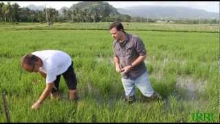 IRRI Agronomy Challenge: The Documentary