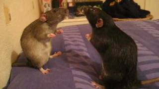 Rat Staring Contest With Background Music