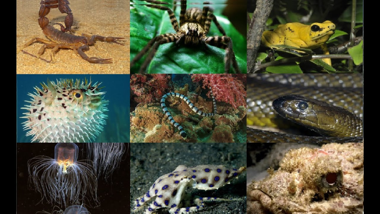 The most poisonous creature in the world 62