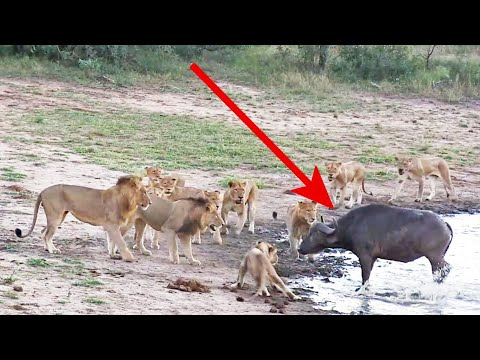 The Great Escape? | Buffalo outsmarts pride of lions - Kruger National Park, South Africa