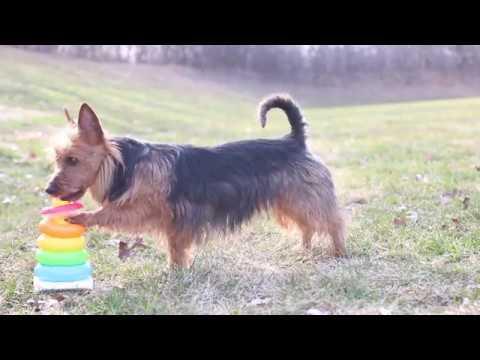 Amazing Dog Tricks // Australian Terrier Judy