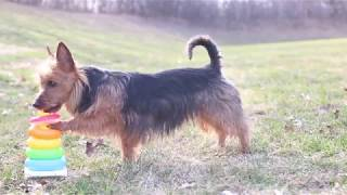 Amazing Dog Tricks // Australian Terrier Judy