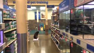 "8mo Pitbull ""sasha"" - Petsmart With Distractions In 5 Lessons - Dog Training Raleigh Durham"