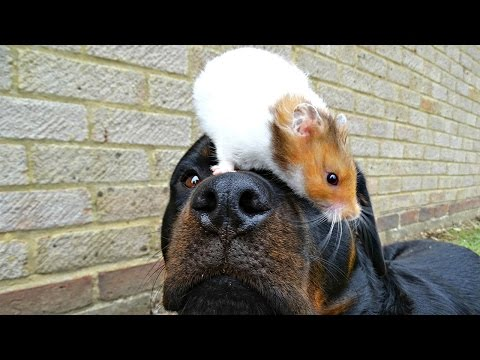 Rottweiler and Hamster Love Each Other