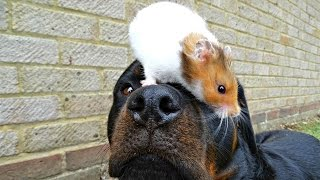 Rottweiler Best Friends With Hamster