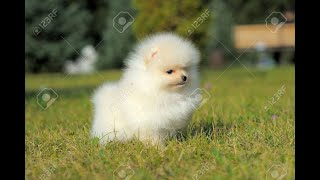 #118 GERMAN SPITZ | Which Dog Should I Get? Dog Breed Selector