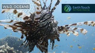 Lionfish shows off its venomous fin rays
