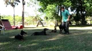 Florida Dog Academy - Doberman Training Session At The Kennel (01)