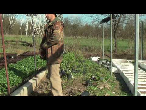 Земляника Фурор и другие нейтралы в Ф Х  Батькив сад  Нюансы выращивания