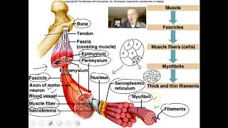Introduction to the muscular system video 1