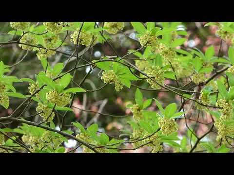 野田市の樹木 清水公園のクロモジ が咲いていました