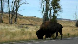 Buffalo Crossing thumbnail