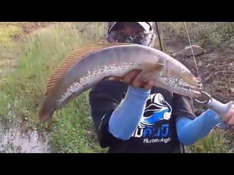 Mancing Ikan Gabus Terbesar dengan Teknik Casting