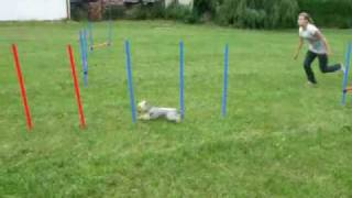 Agility Training - Yorkshire Terrier Kiki