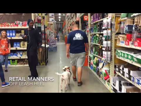 "2.5 year old Mini Bull Terrier ""Luna"" 