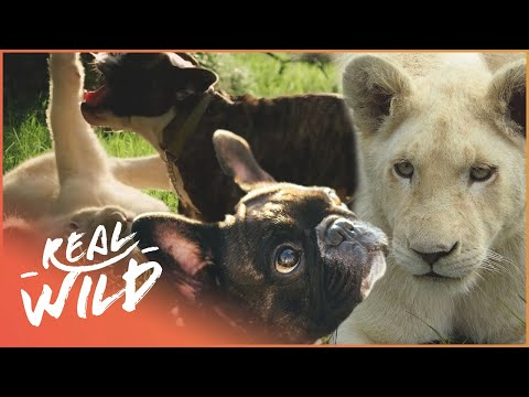 Lion and French Bulldog Are Best Friends | Animal Odd Couples | Real Wild