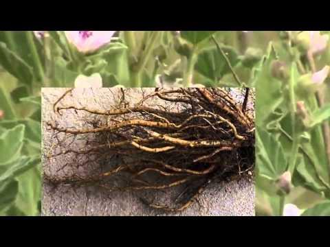 Солодка (трава) – полезные свойства и применение солодки