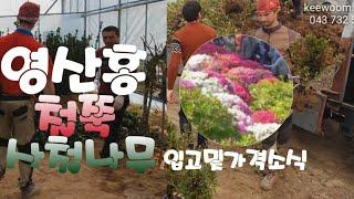 철쭉 영산홍 사철나무묘목 입고 및 가격 소식(귀농&am…
