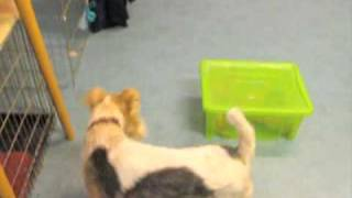 Dog Tricks - Wire Fox Terrier Toby