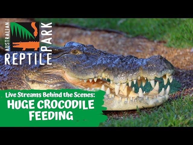 HUGE CROCODILE FEEDING (LIVE FOOTAGE) | AUSTRALIAN REPTILE PARK