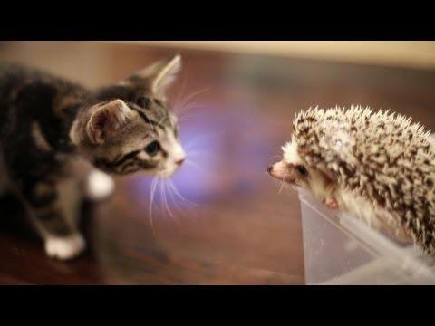 Khoảnh khắc đáng yêu khi nhím kiểng gặp mèo con