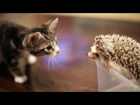 What Happens When A Kitten Discovers A Hedgehog