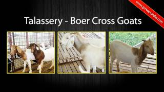 Goat Farming in India-Tamilnadu-Namakkal