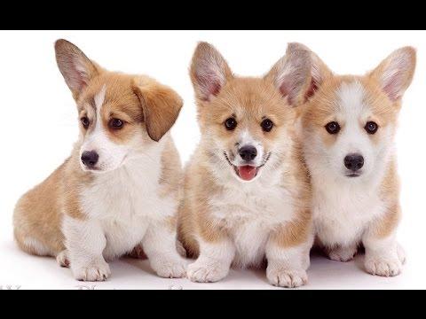 Чудо Щенки Вельш-корги | Welsh Corgi Dog Breeders