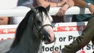 Merlod Mynydd Cymreig - Ebol | Welsh Mountain Ponies - Colt 2 year old