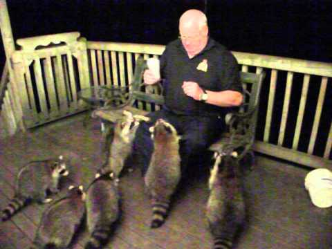 Feeding Raccoons 30 August 2014